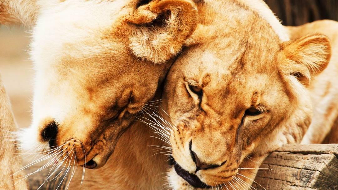 lions near Nairobi, Kenya