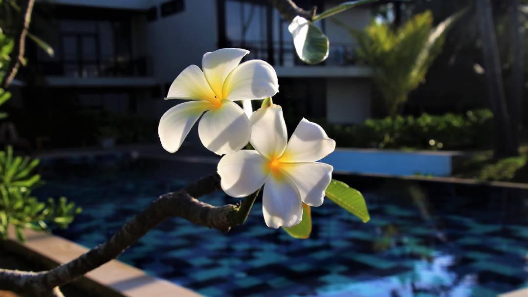 plumeria-flowers-Fiji