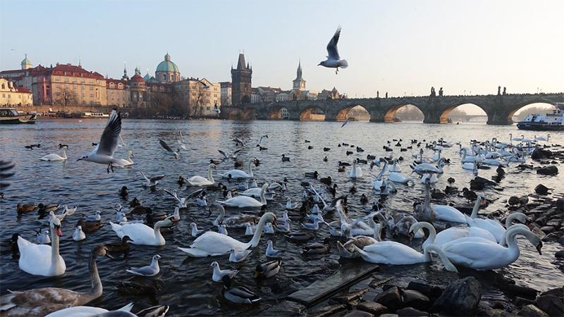Swan-Prague Prague,-Czech-Republic